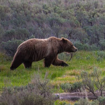 Projects - Conserving Grizzly Bears in Contested Landscapes
