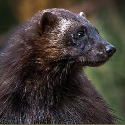 Projects - Wolverine Ecology and Conservation